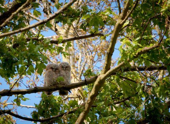 VIP Owls